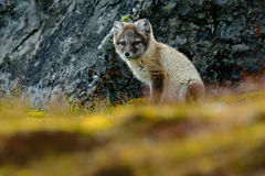 Arctic Fox, Vulpes lagopus, cute animal portrait in the nature habitat, grass meadow with flowers dark rock in the background, Sva Royalty Free Stock Photography