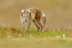 Arctic Fox, Vulpes lagopus, cute animal portrait in the nature habitat, grass meadow with flowers, Iceland. Polar fox in the natur stock image