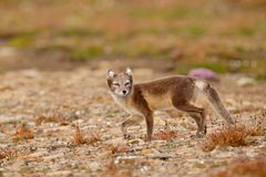 Arctic Fox, Vulpes lagopus, cute animal portrait in the nature habitat, grassy meadow with flowers, Svalbard, Norway. Beautiful stock images
