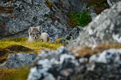 Arctic Fox, Vulpes lagopus, cute animal portrait in the nature habitat, rocky meadow with flowers, dark rock in the background,. Svalbard, Norway royalty free stock photo