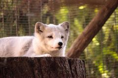 Arctic fox Vulpes lagopus. Has brown fur in the warmer months and white fur in the winter Royalty Free Stock Photo