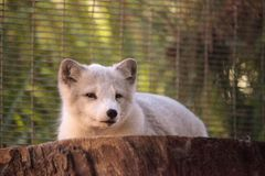 Arctic fox Vulpes lagopus. Has brown fur in the warmer months and white fur in the winter Stock Photography