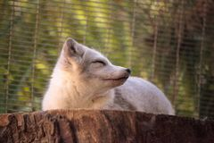 Arctic fox Vulpes lagopus. Has brown fur in the warmer months and white fur in the winter Royalty Free Stock Image