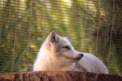 Arctic fox Vulpes lagopus. Has brown fur in the warmer months and white fur in the winter Royalty Free Stock Photography