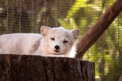 Arctic fox Vulpes lagopus. Has brown fur in the warmer months and white fur in the winter Stock Photos