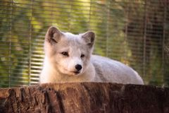 Arctic fox Vulpes lagopus. Has brown fur in the warmer months and white fur in the winter Royalty Free Stock Photos