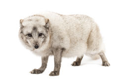 Arctic fox, Vulpes lagopus, isolated on white Stock Image