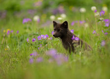 Arctic fox Vulpes lagopus in the meadow. Stock Images