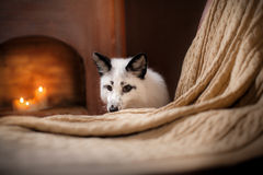 Arctic fox, Vulpes lagopus Royalty Free Stock Images