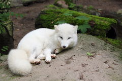 Arctic fox. (Vulpes lagopus) resting on rock Stock Image