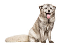 Arctic fox, Vulpes lagopus sitting, panting, isolated on white Royalty Free Stock Image
