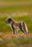 Arctic Fox, Vulpes lagopus, two young, in the nature habitat, grass meadow with flowers, Svalbard, stock images