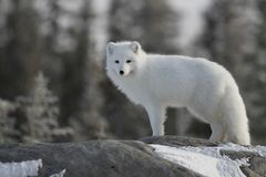Arctic fox Vulpes Lagopus in white winter coat staring at the camera while standing on a large rock with trees in the background,. Churchill Manitoba Stock Photography