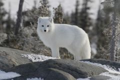 Arctic fox in white winter coat staring off while standing on a large rock with trees in the background, Stock Images