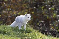 Arctic fox walking through a field Royalty Free Stock Images