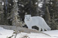 Arctic fox in white winter coat with small tree in the foreground. Arctic fox Vulpes Lagopus in white winter coat with small tree in the foreground, Churchill royalty free stock photos