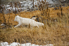Arctic Fox in Winter Coat, Running through Reeds stock images