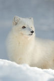 Arctic Fox in Winter Stock Image