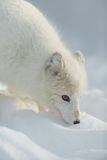 Arctic Fox in Winter Stock Photography