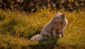 Arctic fox yawning in the sun, Quebec, Canada. stock photo