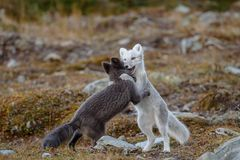 Arctic fox In a autumn landscape royalty free stock photo