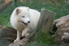 Arctic fox. Young arctic fox in a natural habitat Royalty Free Stock Photography