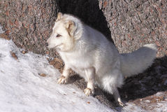 Arctic Fox1. Arctic Fox in winter in Omega Park of Quebec Stock Photo