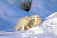 Arctic Foxes Stock Photography