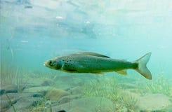 Arctic Grayling or Thymallus arcticus underwater Stock Image