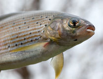 Arctic grayling or trout Stock Photos