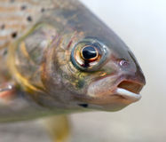 Arctic grayling or trout Stock Photography