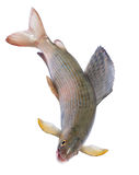 Arctic grayling or trout Stock Image