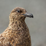 Arctic Great Skua (Stercorarius skua) Royalty Free Stock Photography
