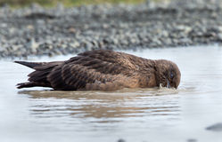 Arctic Great Skua (Stercorarius skua) Stock Photography