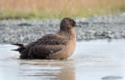 Arctic Great Skua (Stercorarius skua) Stock Images