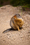 Arctic Ground Squirrel Royalty Free Stock Images