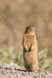 Arctic Ground Squirrel Royalty Free Stock Photos