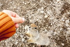 Arctic ground squirrel asking for food from human hands. Kamchatka Peninsula, Russia royalty free stock image