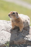 Arctic ground squirrel. A cute arctic ground squirrel sitting on a log Stock Photo