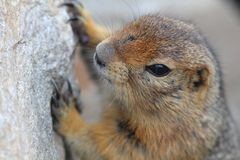 Arctic Ground Squirrel on Donnelly Dome Royalty Free Stock Images