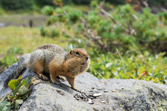 Arctic ground squirrel eating seeds on rock. Kamchatka. Arctic ground squirrel eating seeds on the rock. Kamchatka stock photo