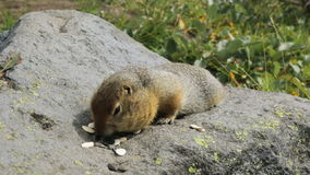 Arctic ground squirrel eating seeds on rock. Kamchatka. stock video