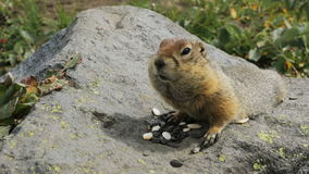 Arctic ground squirrel eating seeds on rock. Kamchatka stock footage video