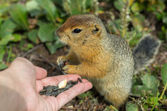 Arctic ground squirrel eats seeds from human hands. Kamchatka. Stock Image