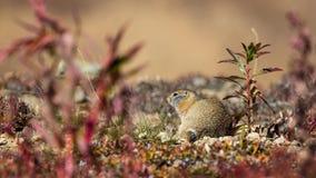 Arctic Ground Squirrel. An arctic ground squirrel enjoying the warm Alaskan sun Royalty Free Stock Images