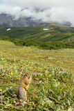Arctic ground squirrel at foot of volcano on Kamchatka. Stock Photos