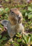Arctic ground squirrel at foot of volcano on Kamchatka. Royalty Free Stock Photography