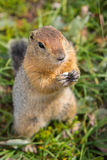 Arctic ground squirrel at foot of volcano on Kamchatka. Stock Images