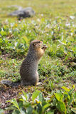 Arctic ground squirrel at foot of volcano on Kamchatka. Royalty Free Stock Image