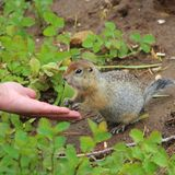 Arctic ground squirrel Urocitellus parryii touches person's hand with its paws. royalty free stock photos